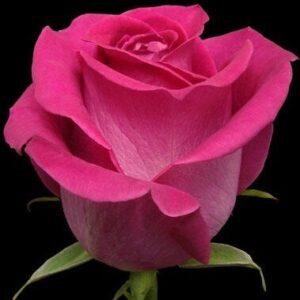 Эквадорская роза розовая