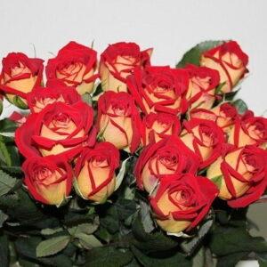 Двухцветная роза Нью Фейшн 50 см 21 шт