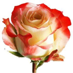 Эквадорская роза бело розовая