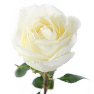 Эквадорская роза белая