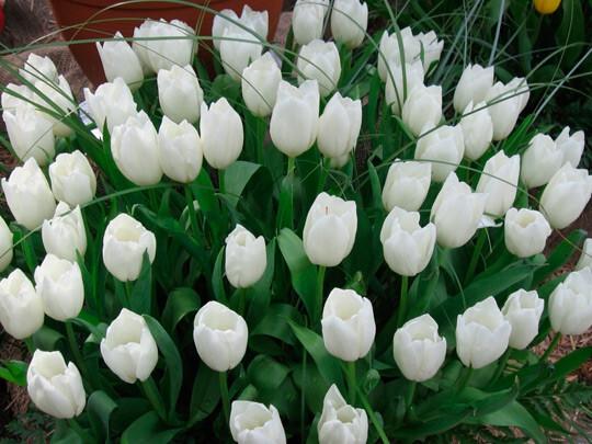 Букет 101 тюльпан № 131