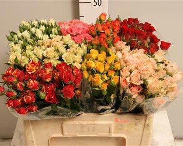 Кустовая роза 70см