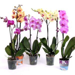 Орхидея (фаленопсис) в вазоне